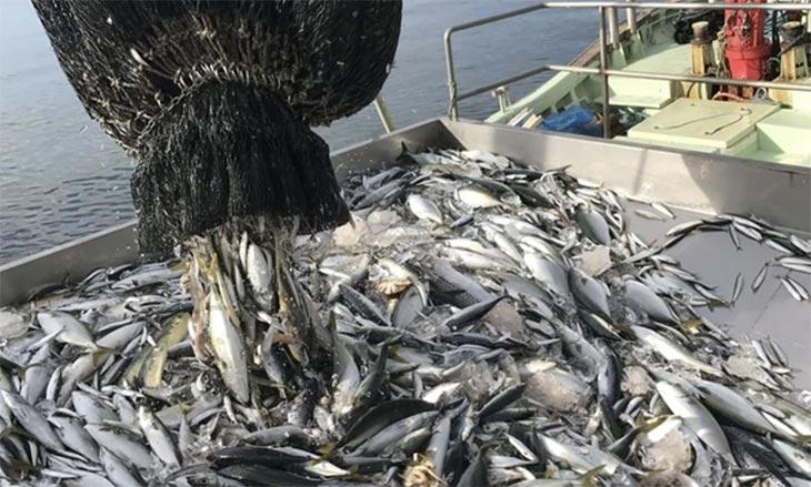 宮城県石巻市の沖にある金華山という島の周囲に生息して回遊しない鯖